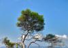 Pine, Pointe du Layet. (c) Stanislas Illya Yankovich